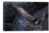 Yawning Fur Seal, Canvas Print