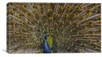 Peacock Plumage, Canvas Print