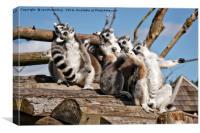 Sunbathing Ring-Tailed Lemurs, Canvas Print