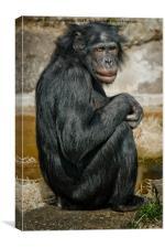 Bonobo, Canvas Print