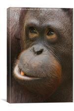 Orangutan Face, Canvas Print