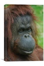 Female Orangutan, Canvas Print