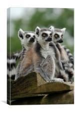 Gang Of Lemurs, Canvas Print
