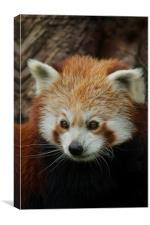 Watchful Red Panda, Canvas Print