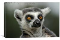 Ring-Tailed Lemur Stare, Canvas Print