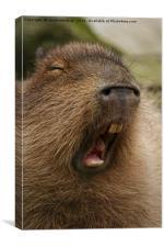 Yawning Capybara, Canvas Print