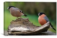 Female And Male Bullfinch, Canvas Print