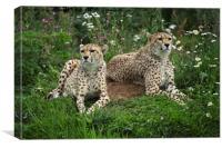 Resting Cheetahs, Canvas Print