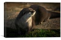 Otter Looking Into The Sunshine, Canvas Print