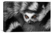 Ring-Tailed Lemur, Canvas Print