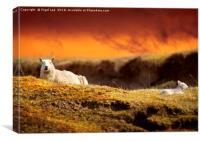 Highland Sheep, Canvas Print