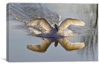 Landing Swan, Canvas Print