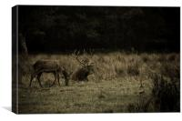 Stag in Killarney, Canvas Print