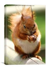 a red squirrel, Canvas Print