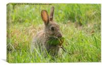 Common brown rabbit, Canvas Print
