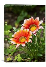 Red gazania, Canvas Print