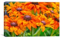 Beautiful Rudbeckia, Canvas Print