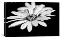 Osteospermum and fly, Canvas Print
