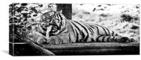 A Hungry Tiger., Canvas Print