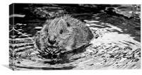 Bathing Beaver., Canvas Print