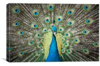Peacock from the front, Canvas Print