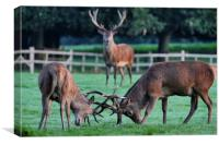 Rutting Stags, Canvas Print