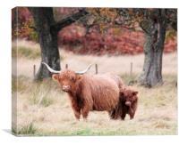 Highland Cow and calf, Canvas Print