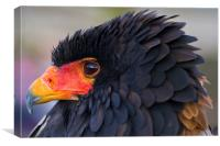 Raphael the Bateleur Eagle, Canvas Print