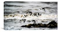 Oystercatchers in December, Canvas Print