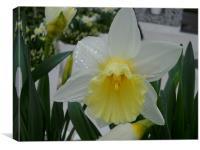 Raindrop Daffodil, Canvas Print