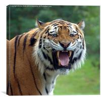 Tiger with attitude, Canvas Print