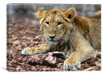 Lion cub contemplating leftovers, Canvas Print