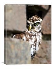 Shy Little Owl, Canvas Print