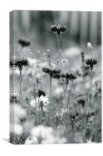 Cornflower in mono, Canvas Print