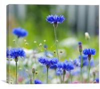 Cornflower blue flower, Canvas Print