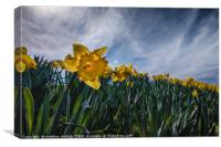 Sunny Daffodil Changing Weather, Canvas Print