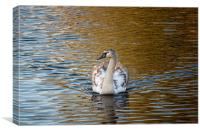 Young swan on golden pond, Canvas Print