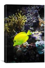 Yellow Marine Fish amongst coral, Canvas Print
