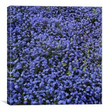 Tiny blue flowers, Canvas Print