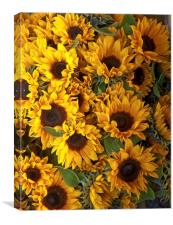 a bed of sunflowers, Canvas Print