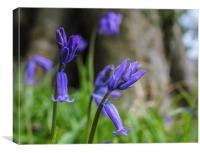 Bluebells at Gatton Park, Canvas Print