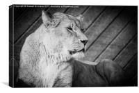 Lioness  on the Lookout, Canvas Print