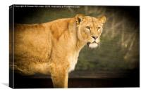 Beautiful Lioness, Canvas Print