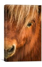 Beautiful Sheltand Pony , Canvas Print