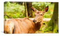 Doe a Deer, Canvas Print