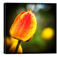 Tulip Lomo Style, Canvas Print