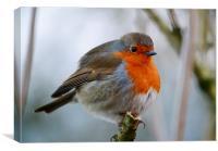 Mr Robin, Canvas Print
