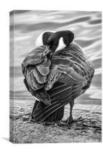 Sleepy Goose, Canvas Print