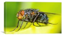 macro shot of common fly, Canvas Print