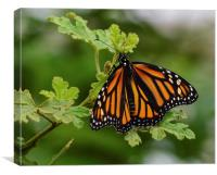 monarch butterfly macro shot, Canvas Print